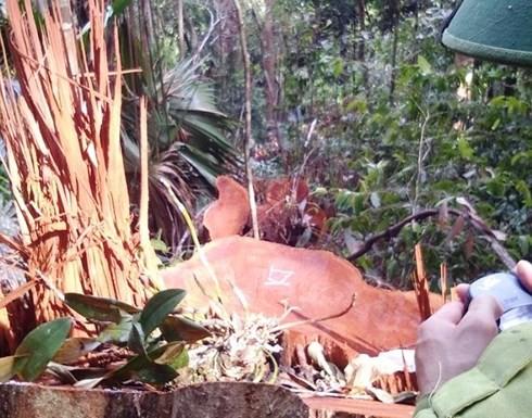 """Nghệ An chỉ đạo xử lý vụ rừng Quốc gia Pù Mát """"chảy máu"""""""
